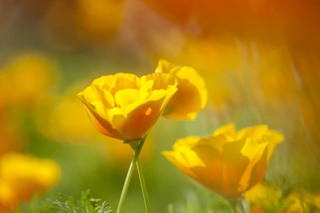 Yellow and Orange Poppy Wild Flowers